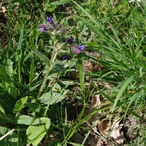 Photographie n°64493 du taxon Pulmonaria longifolia (Bastard) Boreau [1857]