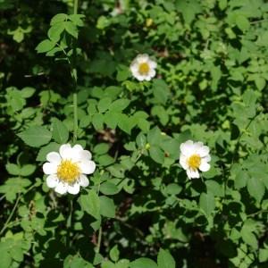 Photographie n°64501 du taxon Rosa arvensis Huds.