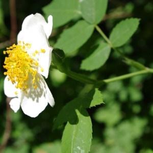 Photographie n°64502 du taxon Rosa arvensis Huds.