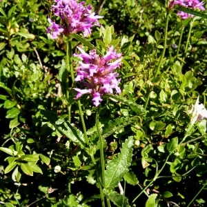- Stachys officinalis subsp. officinalis