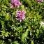 Alain Bigou - Stachys officinalis subsp. officinalis