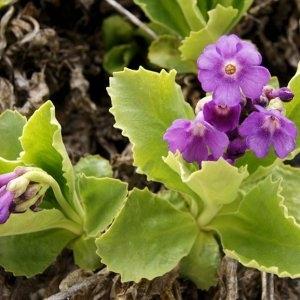 Photographie n°64736 du taxon Primula latifolia Lapeyr.