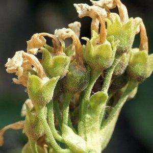 Photographie n°64738 du taxon Primula latifolia Lapeyr.