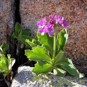 Photographie n°64740 du taxon Primula latifolia Lapeyr.