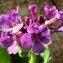 liliane Pessotto - Primula latifolia Lapeyr. [1813]