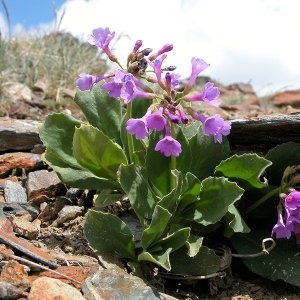 Photographie n°64743 du taxon Primula latifolia Lapeyr.