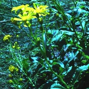Jacobaea paludosa (L.) G.Gaertn., B.Mey. & Scherb. (Séneçon des marais)