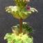 Bertrand BUI - Lamium amplexicaule L. [1753]