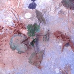 Photographie n°64828 du taxon Ranunculus L. [1753]