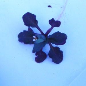 Photographie n°64830 du taxon Brassicaceae