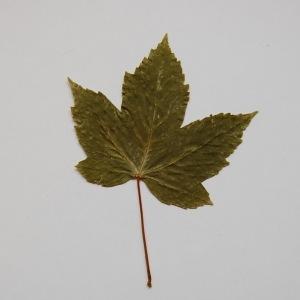 Photographie n°64869 du taxon Acer pseudoplatanus L.