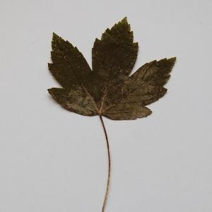 Photographie n°64870 du taxon Acer pseudoplatanus L.