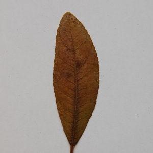 Photographie n°64871 du taxon Arbutus unedo L. [1753]