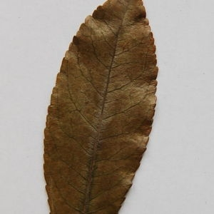 Photographie n°64873 du taxon Arbutus unedo L. [1753]