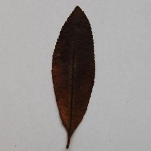 Photographie n°64874 du taxon Arbutus unedo L. [1753]