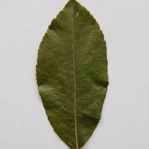 Photographie n°64877 du taxon Arbutus unedo L. [1753]