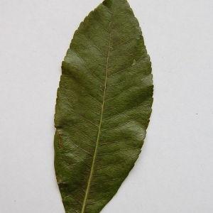 Photographie n°64879 du taxon Arbutus unedo L. [1753]