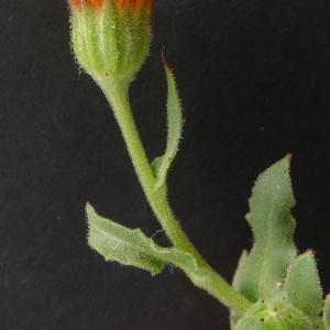 Photographie n°64892 du taxon Calendula arvensis L. [1763]