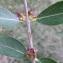 Bertrand BUI - Phillyrea angustifolia L. [1753]