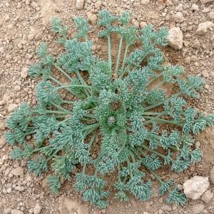 Photographie n°64914 du taxon Platycapnos spicata (L.) Bernh.