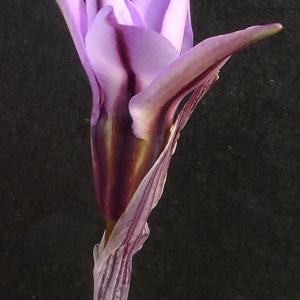 Photographie n°64923 du taxon Tristagma uniflorum (Lindl.) Traub