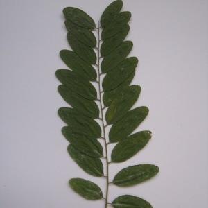 Photographie n°65013 du taxon Robinia pseudoacacia L.