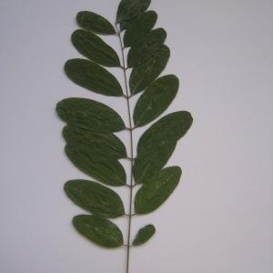 Photographie n°65014 du taxon Robinia pseudoacacia L.