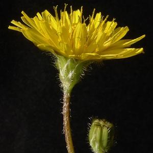 Photographie n°65054 du taxon Crepis sancta subsp. nemausensis (Vill.) Babc. [1941]