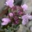 Bertrand BUI - Thymus vulgaris L. [1753]