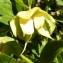 Alain Bigou - Helleborus viridis L. [1753]