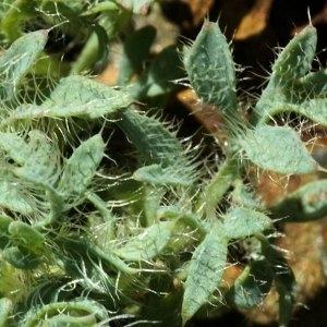 Photographie n°65151 du taxon Papaver lapeyrousianum Gutermann ex Greuter & Burdet [1981]