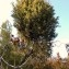 Genevieve Botti - Juniperus oxycedrus L.