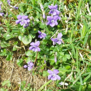 Photographie n°65204 du taxon Viola riviniana Rchb.
