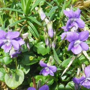 Photographie n°65205 du taxon Viola riviniana Rchb.