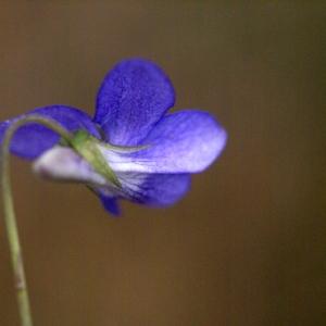 Photographie n°65206 du taxon Viola riviniana Rchb.