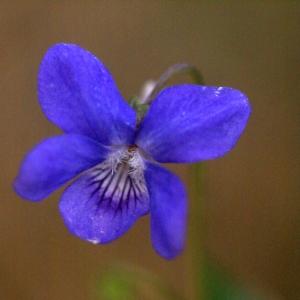 Photographie n°65207 du taxon Viola riviniana Rchb.