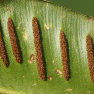 Photographie n°65209 du taxon Asplenium scolopendrium L. [1753]