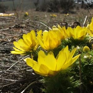 Adonis vernalis L. (Adonis de printemps)