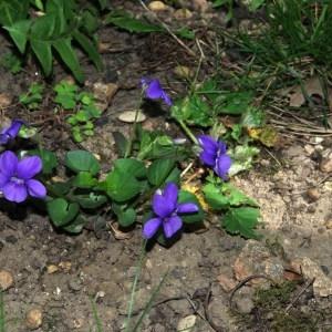 Photographie n°65273 du taxon Viola riviniana Rchb.