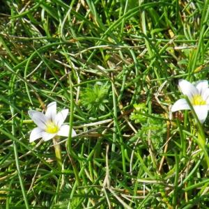 Romulea columnae Sebast. & Mauri subsp. columnae (Romulée à petites fleurs)