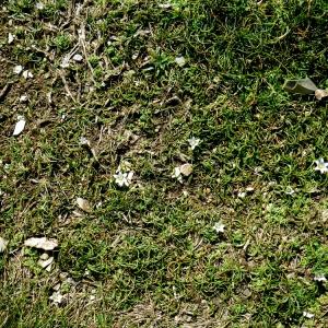 - Romulea columnae subsp. columnae