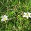 Liliane Roubaudi - Romulea columnae subsp. columnae