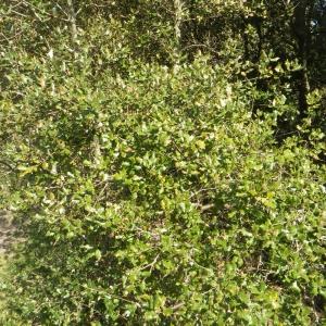 Photographie n°65347 du taxon Quercus ilex L. [1753]