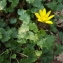 Florent Beck - Ranunculus ficaria L.