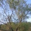 Pierre Bonnet - Salix babylonica L. [1753]