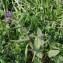 Jean-Luc Gorremans - Pulmonaria longifolia (Bastard) Boreau