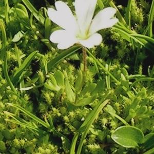 Photographie n°65593 du taxon Cerastium alpinum L. [1753]