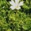 Alain Bigou - Cerastium alpinum L. [1753]