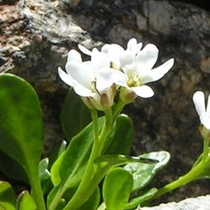 Arabis soyeri subsp. subcoriacea (Gren.) Breistr. [1947] (Arabette à feuilles de pâquerette)