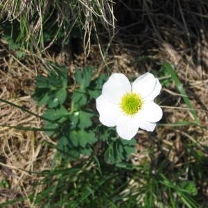 Photographie n°65604 du taxon Callianthemum coriandrifolium Rchb. [1832]